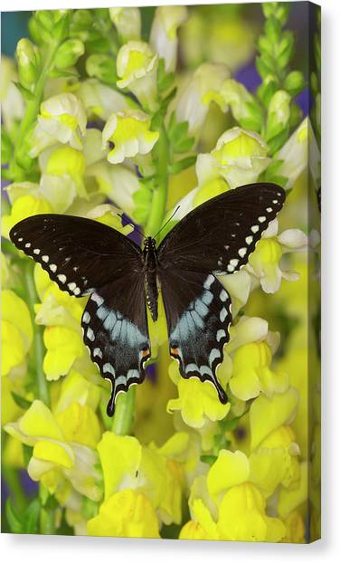 Snapdragons Canvas Print - Spicebush Swallowtail, Papilio Troilus by Darrell Gulin