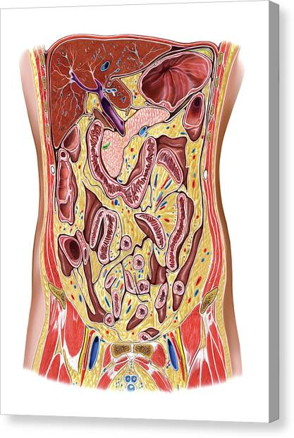 Abdomen Canvas Print - The Abdomen by Asklepios Medical Atlas