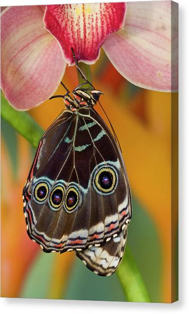 Blue Camo Canvas Print - Tropical Butterfly The Blue Morpho by Darrell Gulin