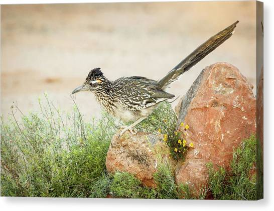 Roadrunner Canvas Print - Usa, Arizona, Santa Rita Mountains by Jaynes Gallery