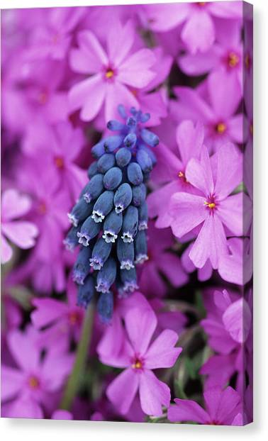 Phlox Canvas Print - Usa, Pennsylvania by Jaynes Gallery