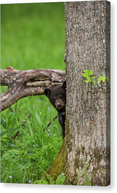 Black Bears Canvas Print - Usa, Tennessee, Great Smoky Mountains by Jaynes Gallery