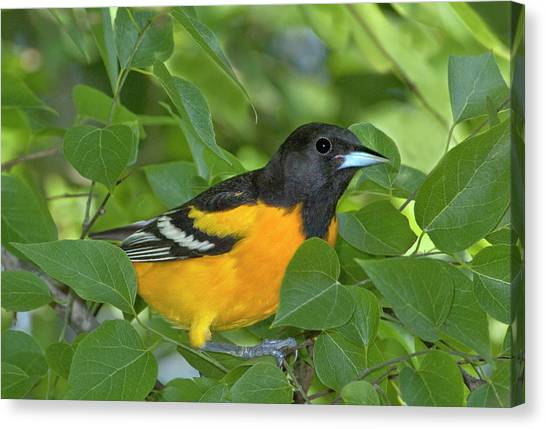 Baltimore Orioles Canvas Print - Usa, Texas, South Padre Island by Jaynes Gallery
