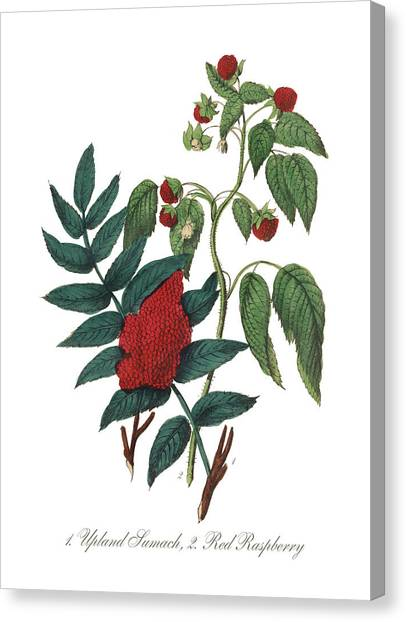 Victorian Botanical Illustration Of Canvas Print by Bauhaus1000