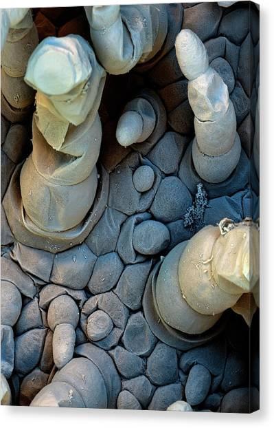 Lettuce Canvas Print - Water Lettuce Trichomes by Stefan Diller