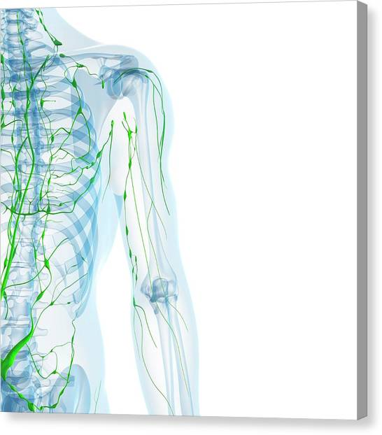 Lymphatic System Canvas Print by Sciepro/science Photo Library