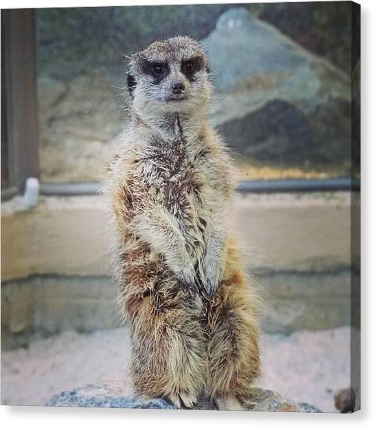 Meerkats Canvas Print - #tagsforlikes #amazing #all_shots by Skip Jensen