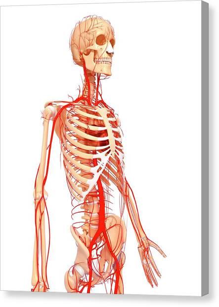 Human Arteries Canvas Print by Pixologicstudio/science Photo Library