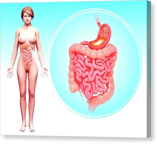 Human Digestive System Canvas Print by Pixologicstudio/science Photo Library