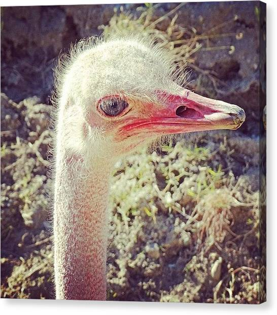 Ostriches Canvas Print - #tagsforlikes #amazing #all_shots by Skip Jensen