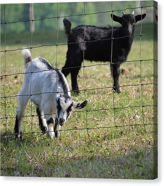 Goats Canvas Print - Baby Goats Head In Fence by Jessica Thomas