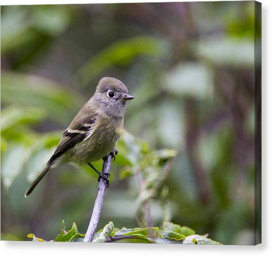 Alder Flycatcher Canvas Print