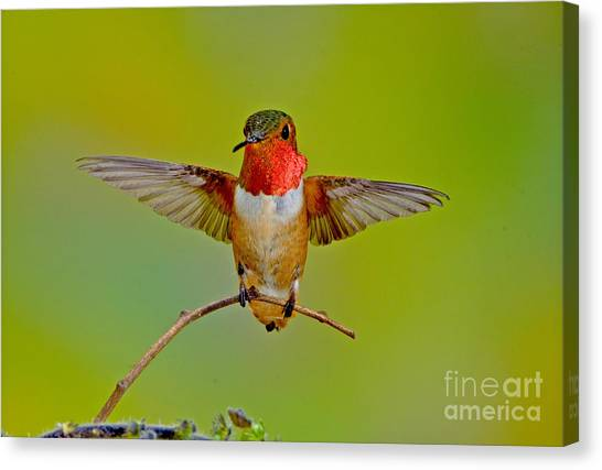Selasphorus Canvas Print - Allens Hummingbird by Anthony Mercieca