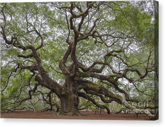 Sc Angel Oak Tree Canvas Print
