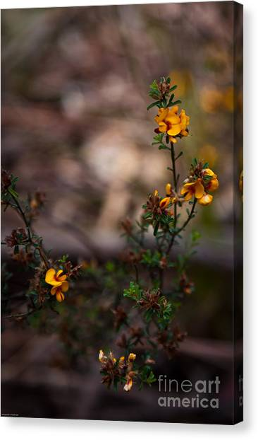 Eggs And Bacon Canvas Print - Australian Wild Flowers by Alexander Whadcoat