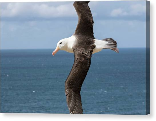 Albatross Canvas Print - Black-browed Albatross (thalassarche by Martin Zwick