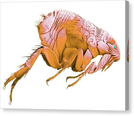 Fleas Canvas Print - Cat Flea. Sem by Steve Gschmeissner