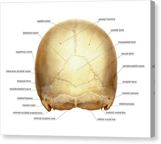 Cranium Canvas Print by Asklepios Medical Atlas