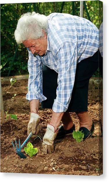 Elderly Lady Gardening Canvas Print by Mauro Fermariello/science Photo Library