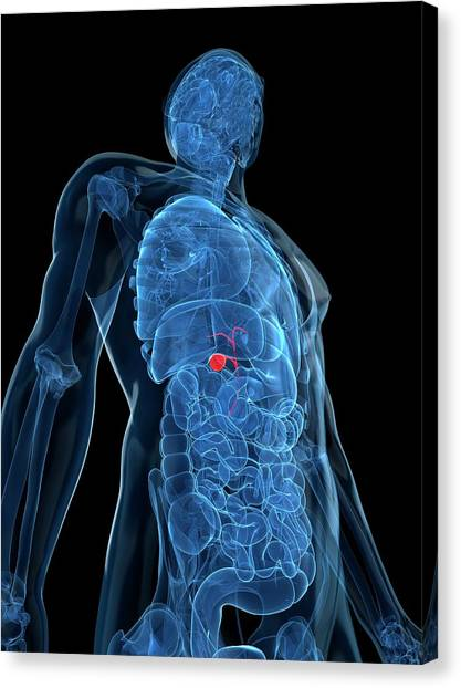 Healthy Gallbladder Canvas Print by Sciepro/science Photo Library