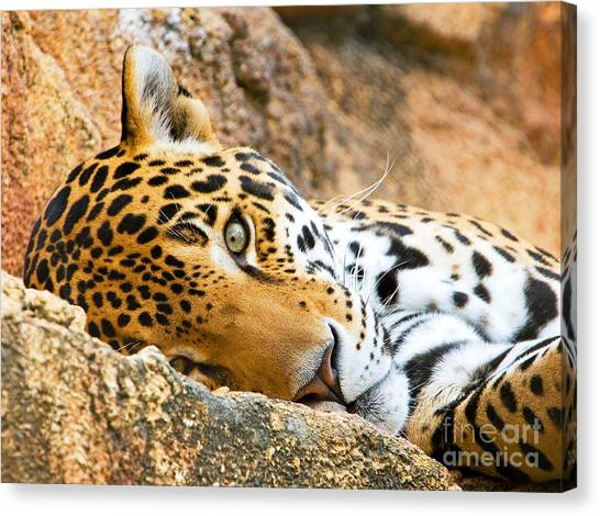 Jacksonville Jaguars Canvas Print - Jaguar by Millard H. Sharp
