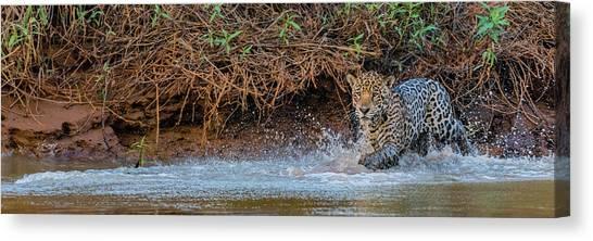 The Pantanal Canvas Print - Jaguar Panthera Onca Walking by Panoramic Images
