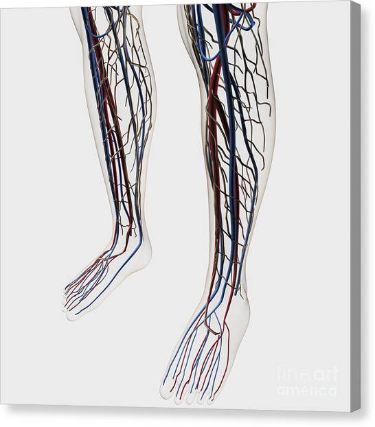 Peroneal Artery Canvas Prints Fine Art America