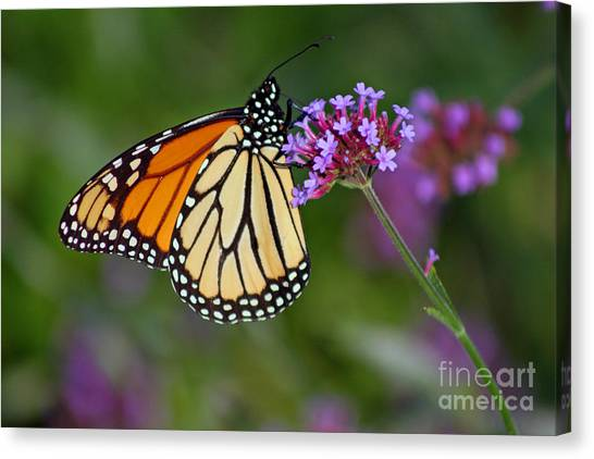 Monarch Butterfly In Garden Canvas Print