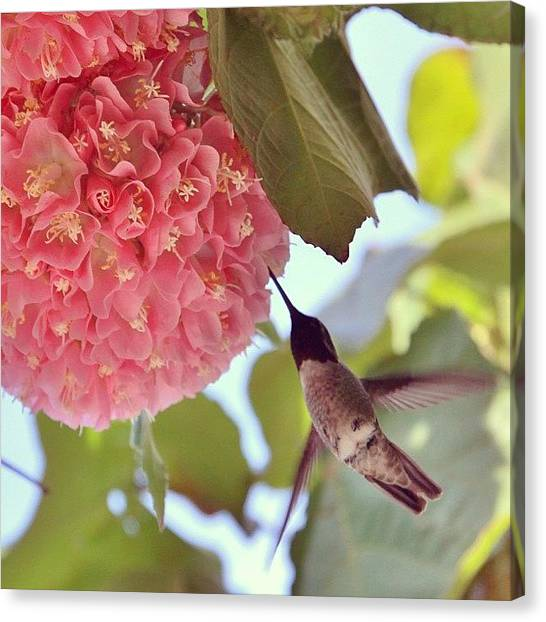 Hummingbirds Canvas Print - #photooftheday #followme #instagramers by Tony Castle