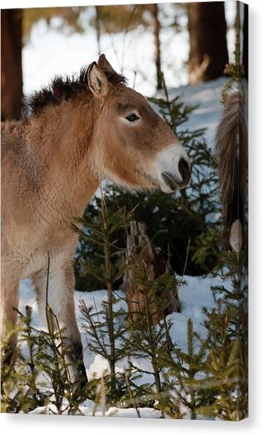 Gobi Canvas Print - Przewalski's Horse Or Takhi (equus by Martin Zwick