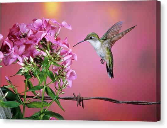Phlox Canvas Print - Ruby-throated Hummingbird (archilochus by Richard and Susan Day