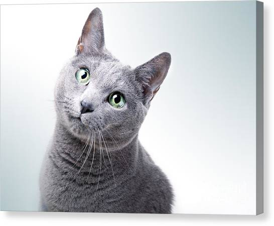Thoroughbreds Canvas Print - Russian Blue Cat by Nailia Schwarz