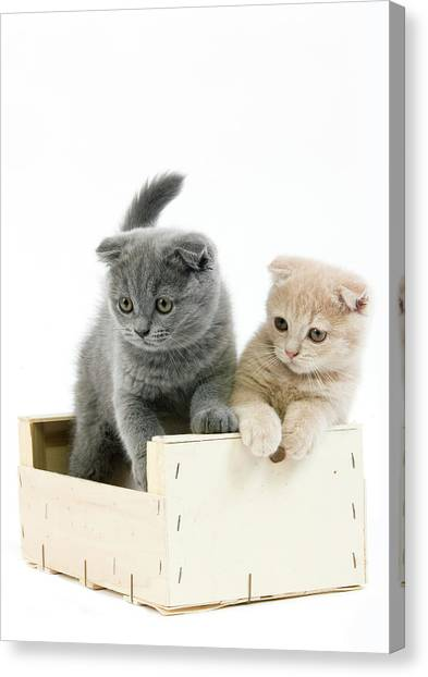 Scottish Folds Canvas Print - Scottish Fold Bleu by Gerard Lacz