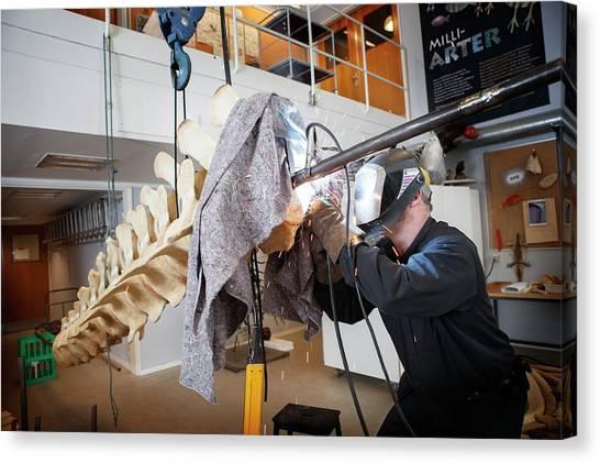 Sperm Whales Canvas Print - Sperm Whale Skeleton Assembly by Thomas Fredberg
