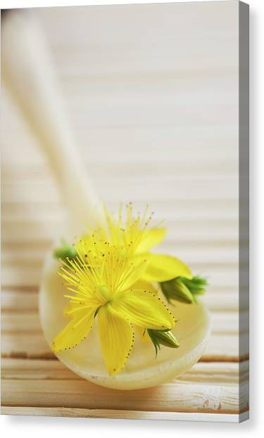 St. Johns Wort (hypericum Perforatum) Canvas Print by Gustoimages/science Photo Library