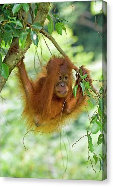 Orangutans Canvas Print - Sumatran Orangutan by Tony Camacho/science Photo Library