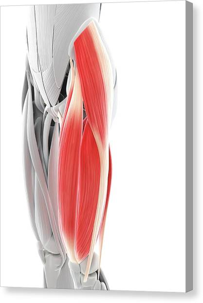 Thigh Muscles Canvas Print by Sciepro/science Photo Library