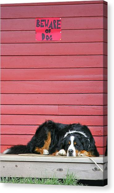 Bernese Mountain Dogs Canvas Print - Usa, Colorado, Breckenridge by Jaynes Gallery