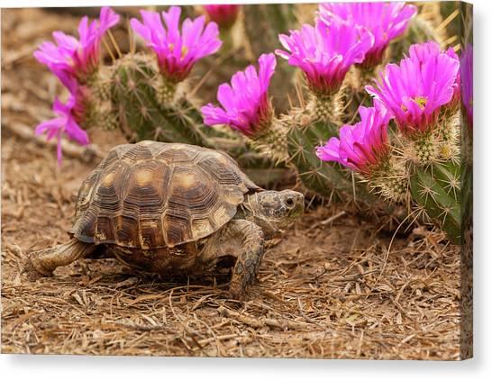 Tortoises Canvas Print - Usa, Texas, Hidalgo County by Jaynes Gallery