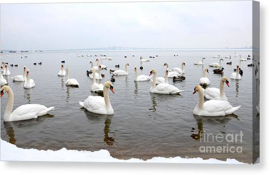 60 Swans A Swimming Canvas Print