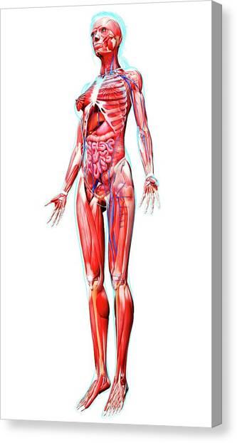 Soleus Muscle Canvas Prints | Fine Art America
