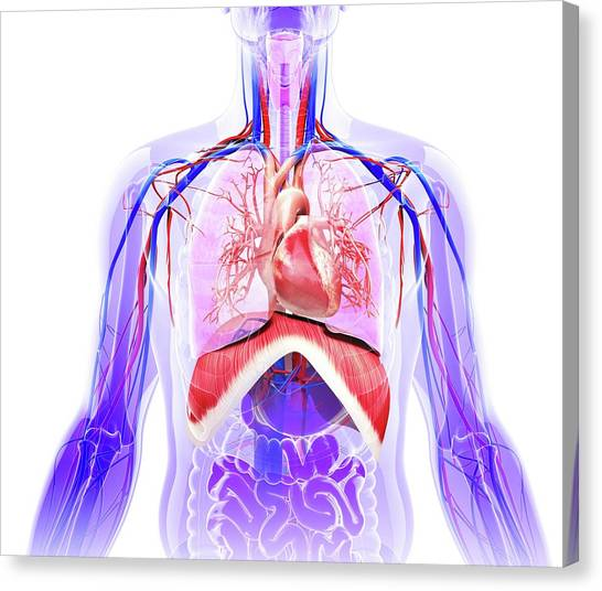Thoracic Diaphragm Canvas Prints (Page #2 of 3) | Fine Art America