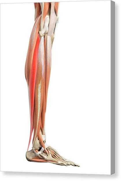 Leg Muscles Canvas Print by Sebastian Kaulitzki/science Photo Library