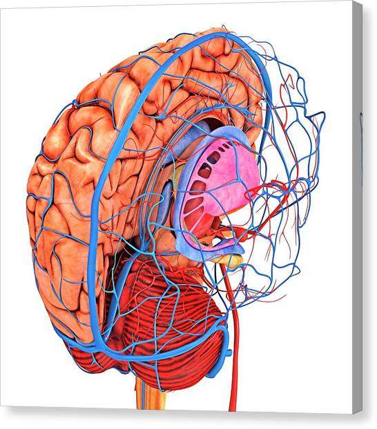 Brain's Blood Supply Canvas Print by Alfred Pasieka/science Photo Library