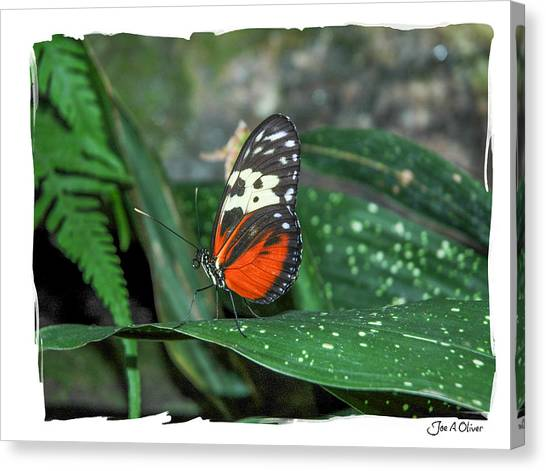 Butterflies Canvas Print by Joe Oliver