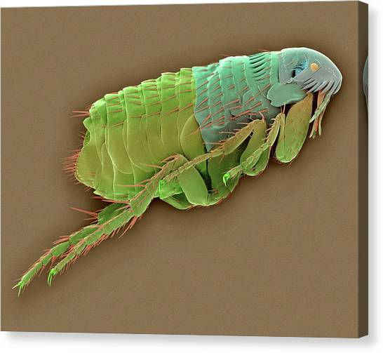 Fleas Canvas Print - Cat Flea by Dennis Kunkel Microscopy/science Photo Library