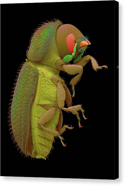 Coffee Plant Canvas Print - Coffee Berry Borer by Dennis Kunkel Microscopy/science Photo Library
