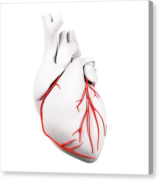 Coronary Arteries Canvas Print by Sciepro/science Photo Library