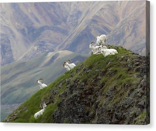 Alaskan Dall Dahl-sheep Image Art  Canvas Print