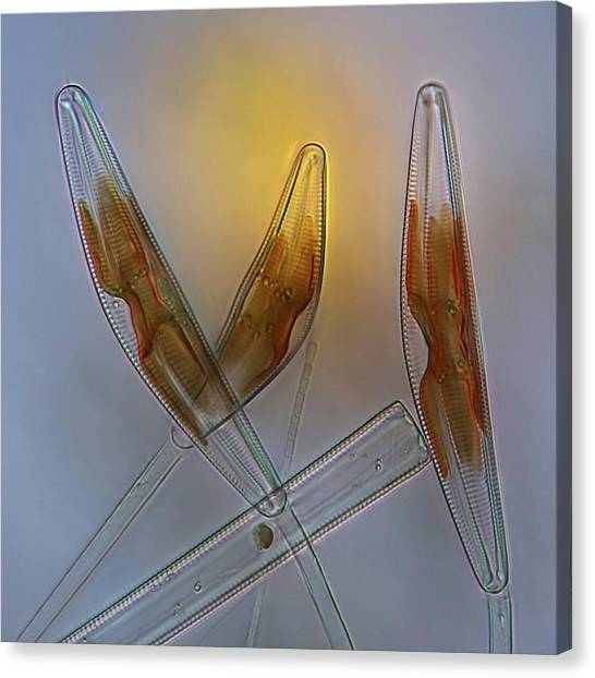 Diatoms, Light Micrograph Canvas Print by Science Photo Library